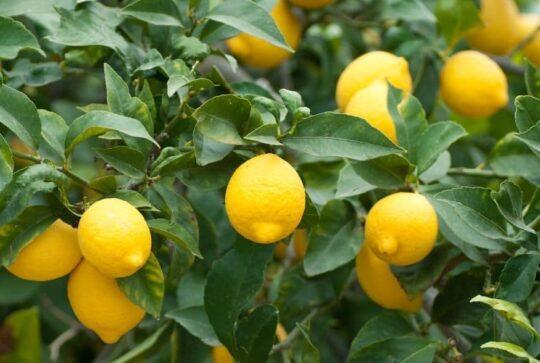 utilizzi foglie limone