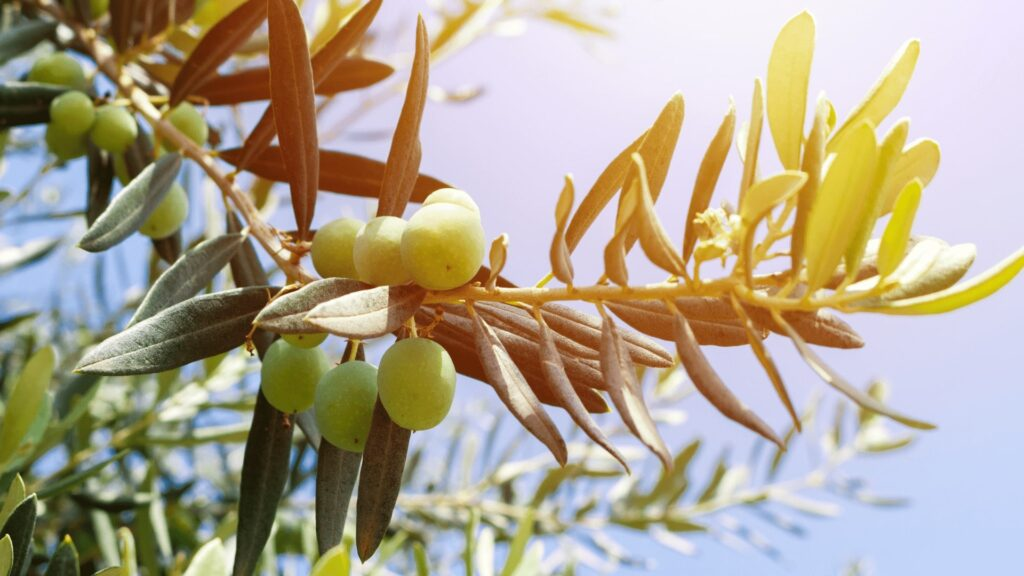 Olive_nocellare